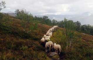 sau-sagfjord-jentoft-brumle